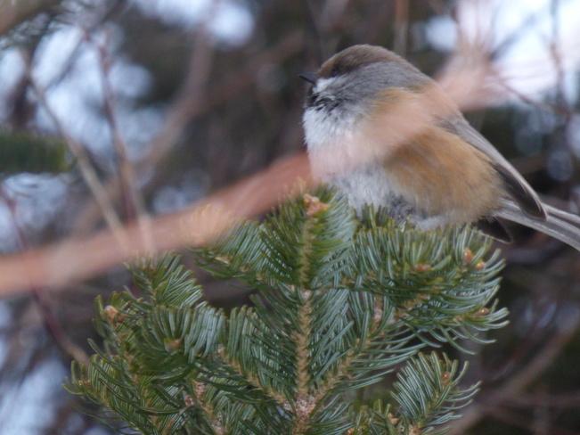 Chickadee Birchy Bay, Newfoundland and Labrador Canada