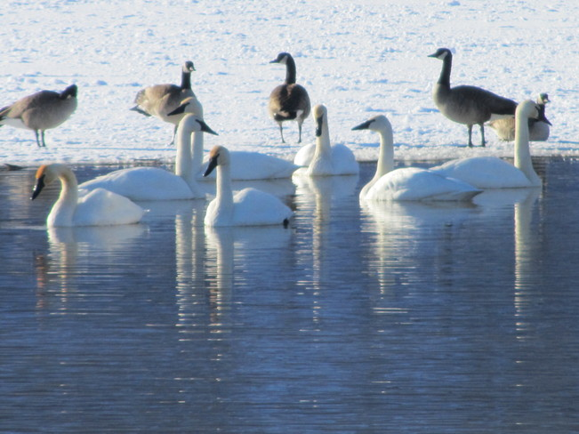 Geese not in the 'game' Vernon, British Columbia Canada