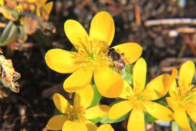 the first honey bee of the year Abbotsford, British Columbia Canada