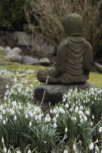 Snow Drops blooming in Vancouver Vancouver, British Columbia Canada