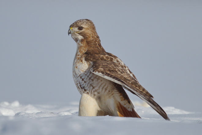Mature Male Redtail Hawk Goderich, Ontario Canada