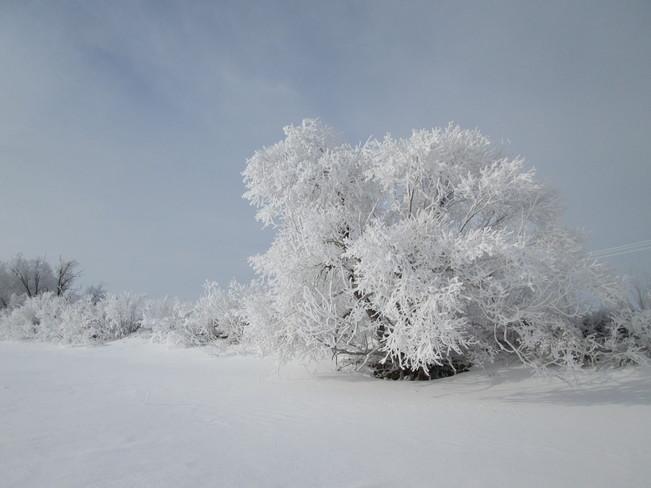 One Frosty Tree Kindersley, Saskatchewan Canada