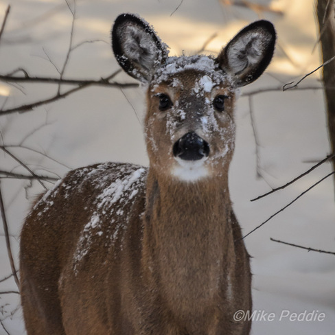 Snowy doe Parry Sound, Ontario Canada