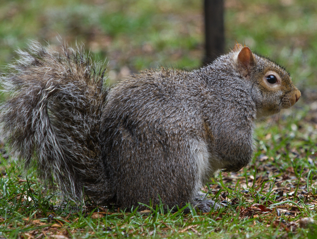 GREY SQUIRREL Tsawwassen, British Columbia Canada