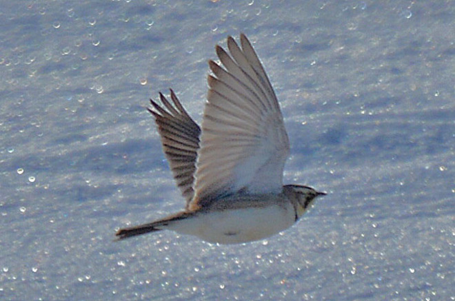 Snow Bunting in Flight Kitchener, Ontario Canada
