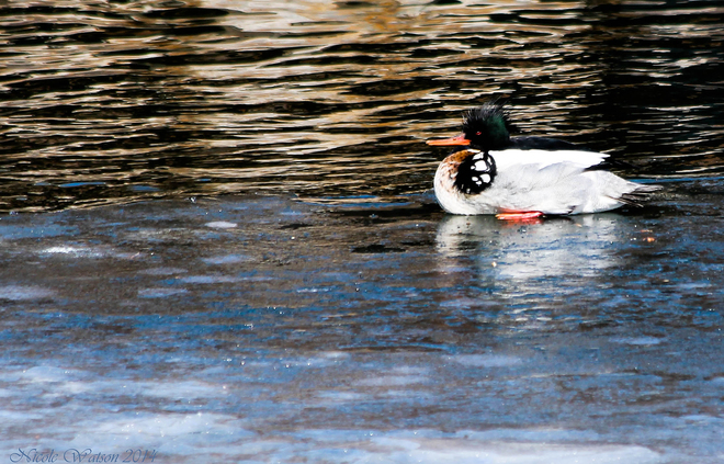 RB Merganser by Wolfe Island Ferry Wharf in Kingston Kingston, Ontario Canada