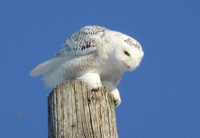 Snowy Owl on the prowl!