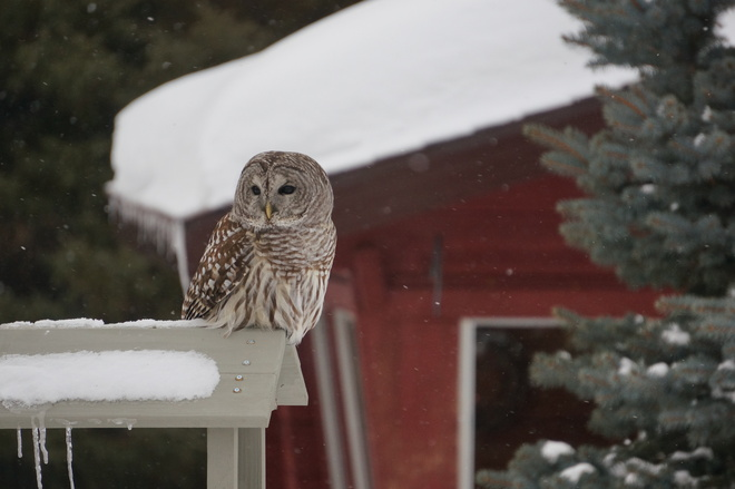 Barred Owl Lively, Ontario Canada