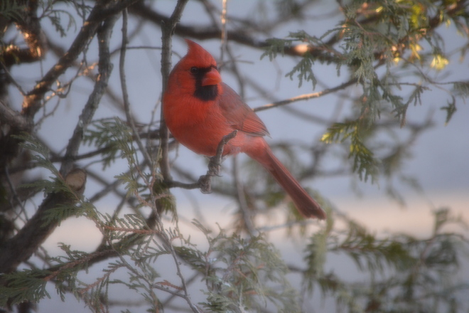Male Cardinal St. Catharines, Ontario Canada