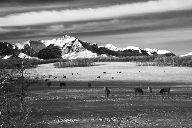 Cattle Country in Winter Lethbridge, Alberta Canada