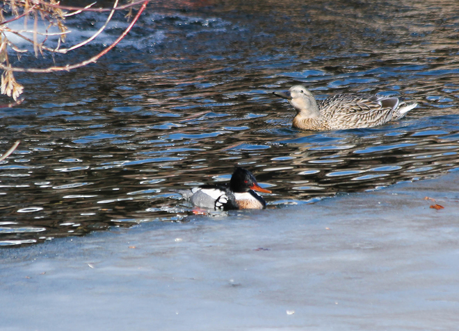What kind of duck?? (on the right) Kingston, Ontario Canada