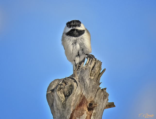 Look at Me! I'm a Chickadee! Smiths Falls, Ontario Canada