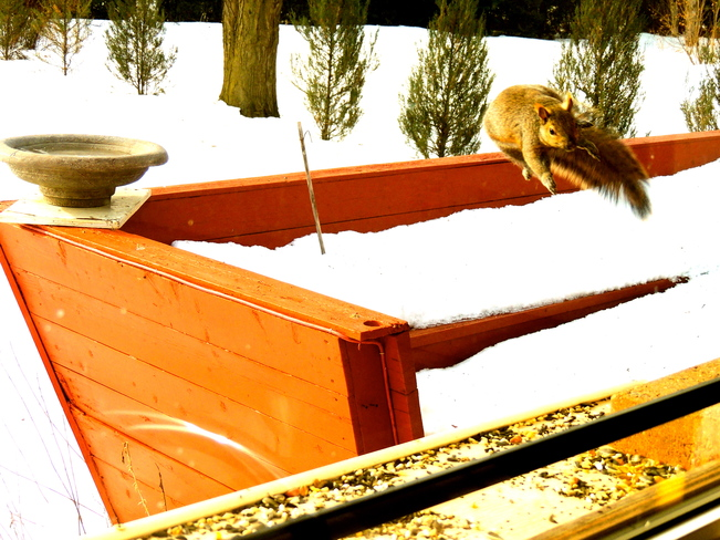 Flying Squirrels are back at it. Port Perry, Ontario Canada