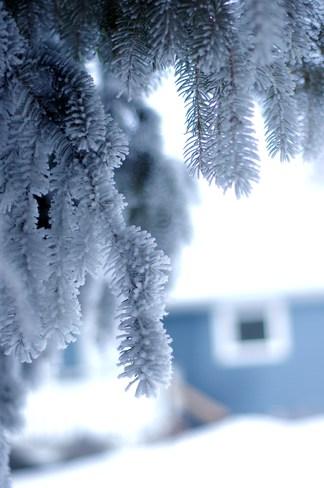Frosty pine Reward, Saskatchewan Canada
