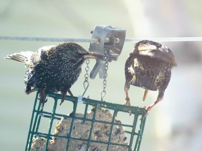 Starlings Espanola, Ontario Canada
