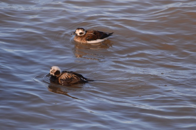 Male and Female Long Tailed Ducks! St. Catharines, Ontario Canada