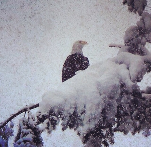Eagle in the Snow Campbell River, British Columbia Canada