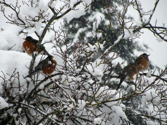 Robins in the snow Courtenay, British Columbia Canada