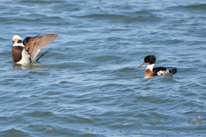Male Red Breasted Merganser with Winter Male Long Tailed Duck! St. Catharines, Ontario Canada