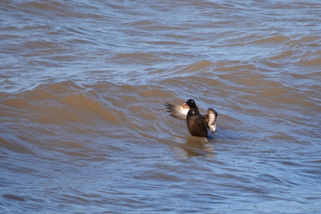 Male White Winged Scoter! St. Catharines, Ontario Canada