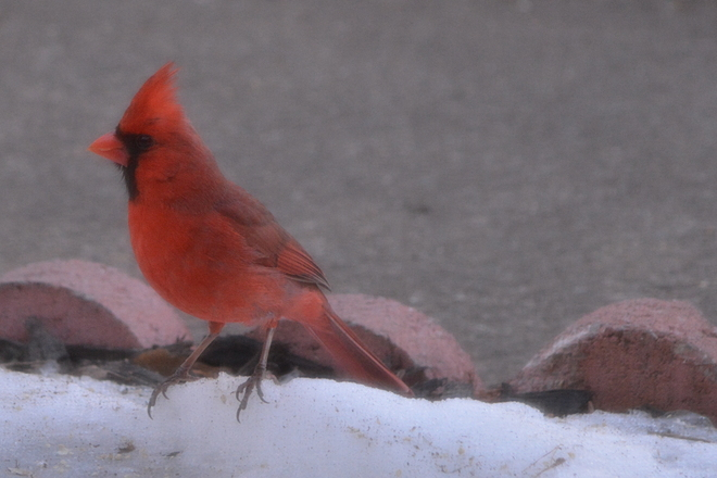 Male Cardinal! St. Catharines, Ontario Canada
