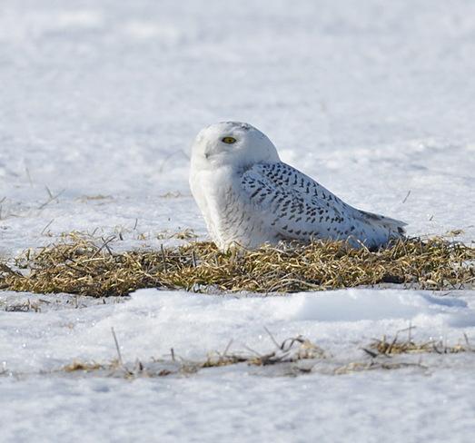 Snowy Owl Sebringville, Ontario Canada