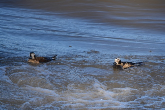 Male and Female Long Tailed Duck! St. Catharines, Ontario Canada