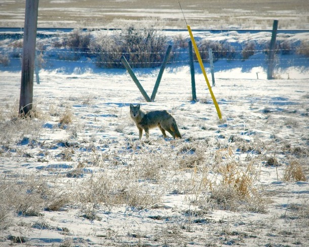 Our New Visitor To The Yard Oyen, Alberta Canada