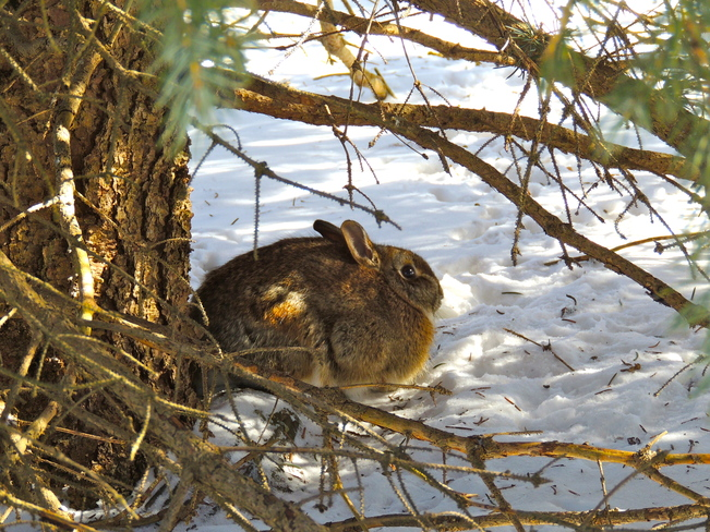 Blue Spruce Bunny Port Perry, Ontario Canada