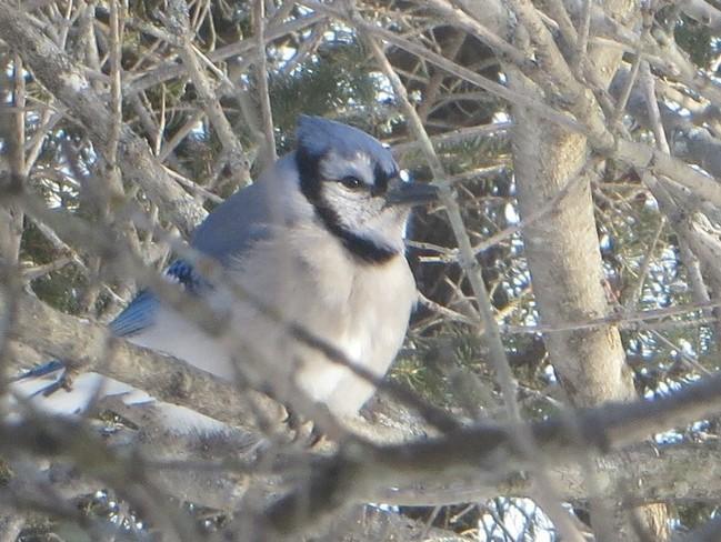 Blue Jay in lilac tree Thunder Bay, Ontario Canada