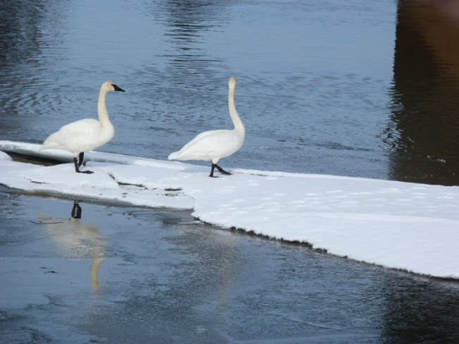 Swans Enderby, British Columbia Canada