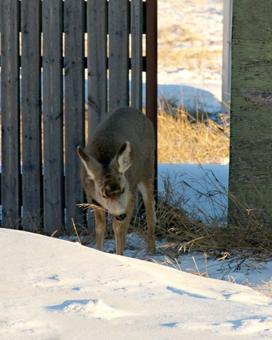 Little One Muching Oyen, Alberta Canada