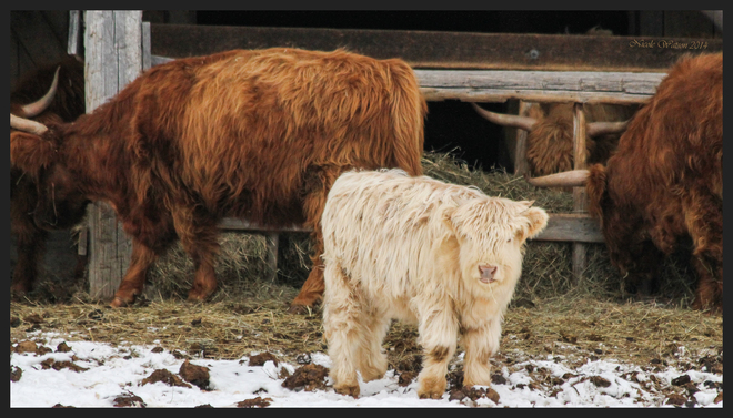 Beautiful Scottish Highland Calf Kingston, Ontario Canada
