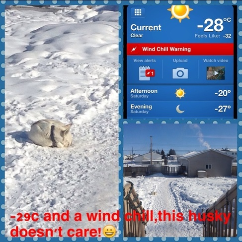 Huskies don't mind the cold Manning, Alberta Canada