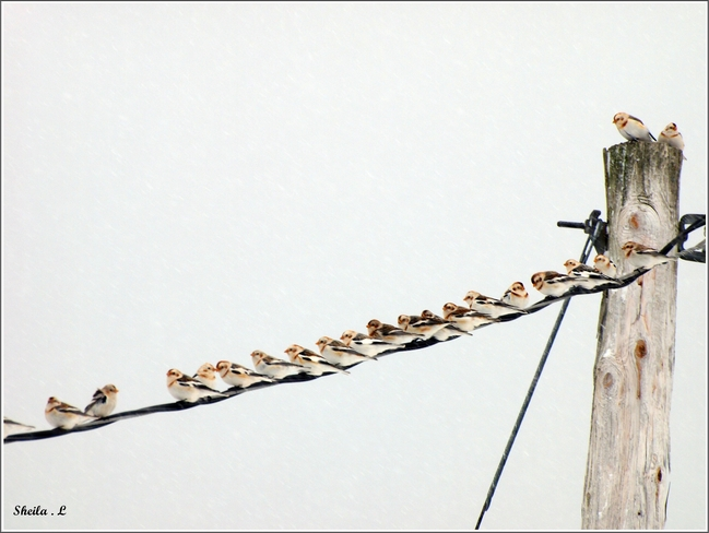 Snow Buntings On The Line Canning, Nova Scotia Canada