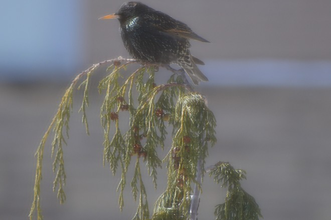 Starling on Nootka tree! St. Catharines, Ontario Canada