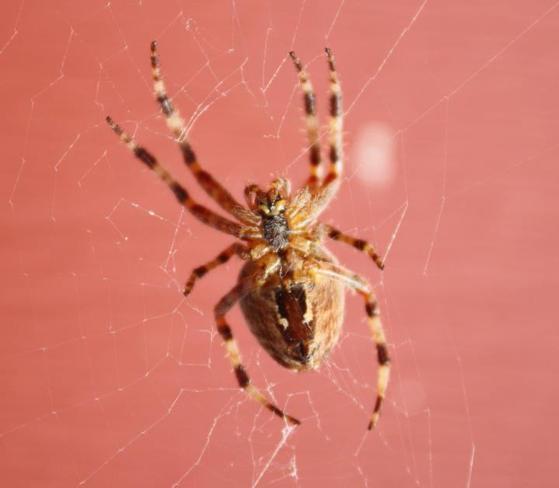Mr.Spider Kippens, Newfoundland and Labrador Canada