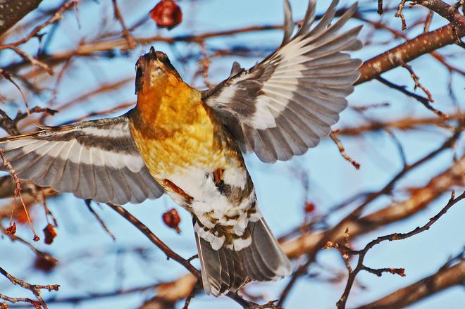 Varied Thrush in Flight Kitchener, Ontario Canada