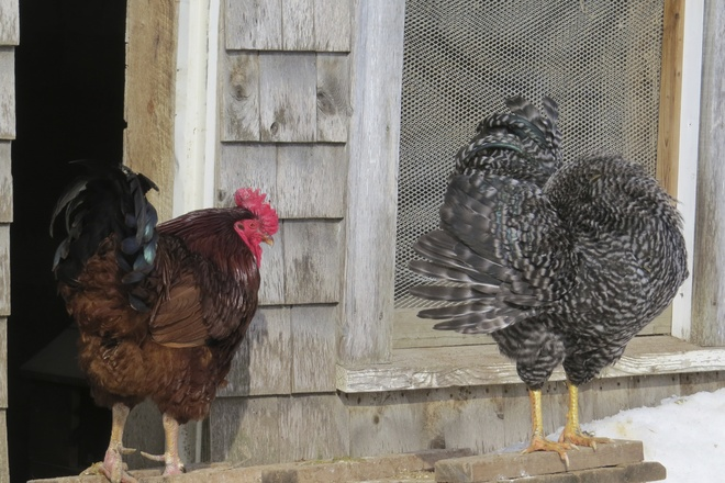 Rhode Island Red Rooster & Barred Rock Rooster Wolfville, Nova Scotia Canada