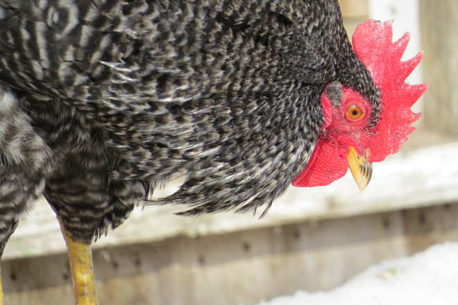 Barred Rock Rooster - Close Up Wolfville, Nova Scotia Canada