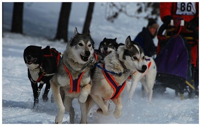 Dog sled derby Georgetown, Ontario Canada