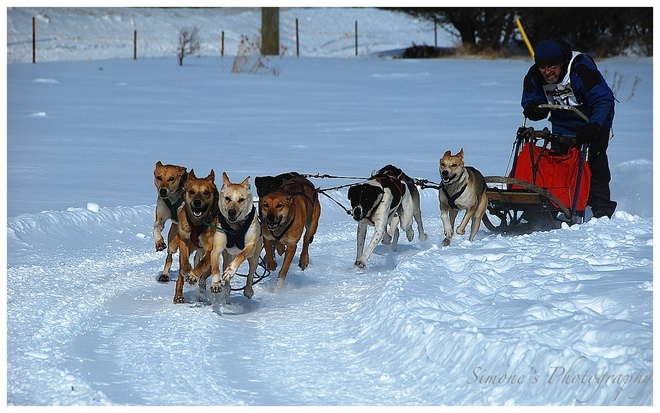 dog sled derby Georgetown, Ontario Canada