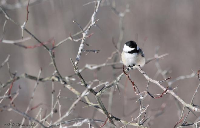 Chickadee Kingston, Ontario Canada