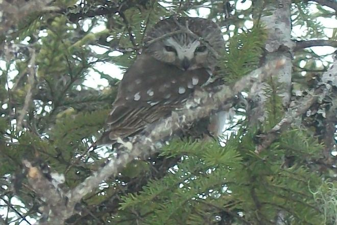 Northern saw-whet Owl Clarenville-Shoal Harbour, Newfoundland and Labrador Canada