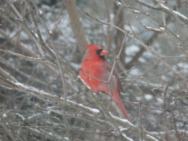 Cardinals in our backyard Kentville, Nova Scotia Canada