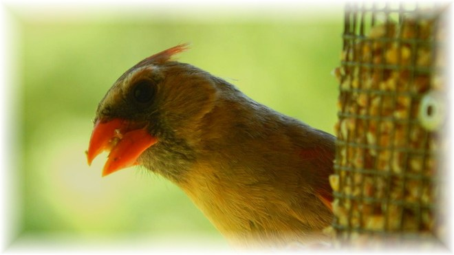 Our Cardinal's wife :) Mount Forest, Ontario Canada
