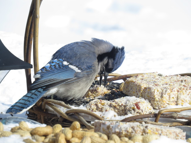 hungry bluejay