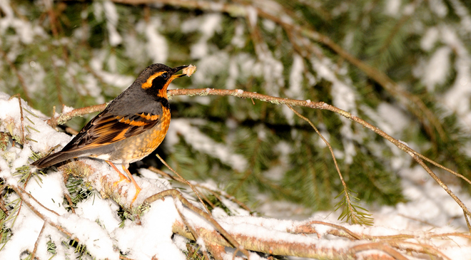 Varied Thrush Squamish, British Columbia Canada