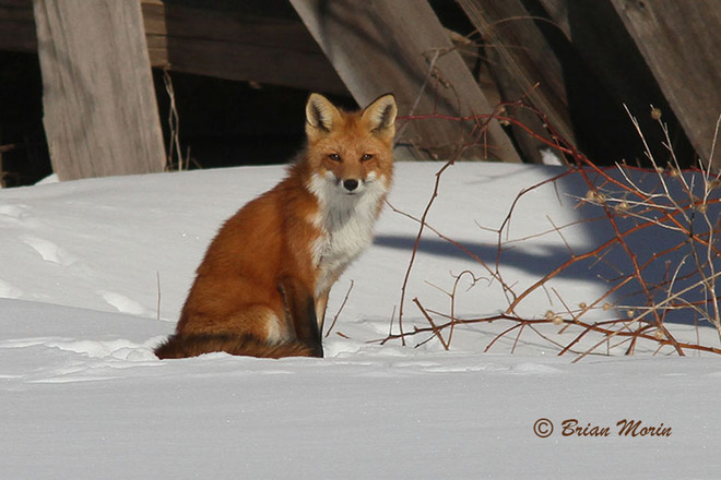 Foxy Lady - Looking Mighty FIne Ingleside, Ontario Canada