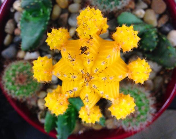 Yellow Cactus Vancouver, British Columbia Canada